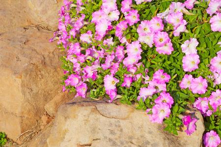 petunia flowers photo