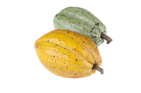 seed plant: Cocoa