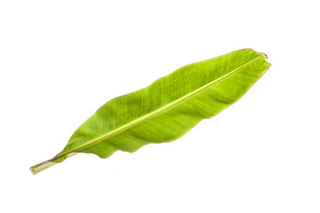 single tree: banana leaf Stock Photo