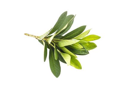 azaleas: Azalea leaf