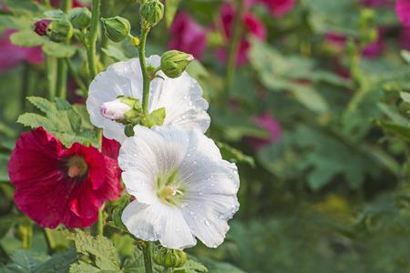 Hollyhock flower close up photo