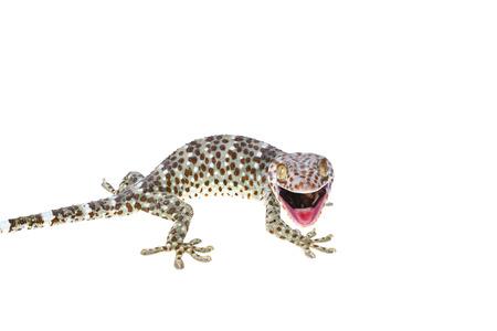 Large Gecko isolated on white background Stock Photo