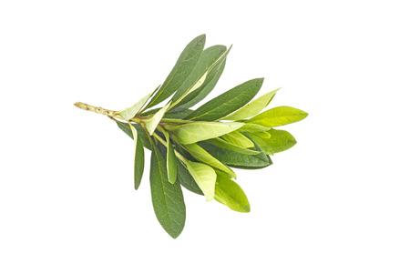 Azalia  leaf