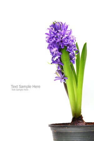 Violet hyacinth isolate on white background Standard-Bild