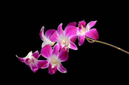 Purple orchids isolated on black background Stock Photo