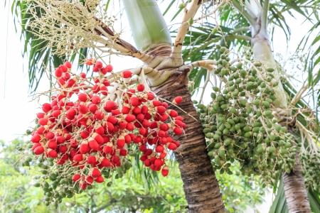 Palma de betel Foto de archivo