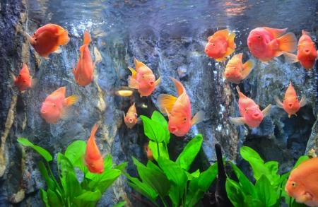 Red Flower Horn Fish