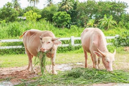 White Thai buffalo Stock Photo