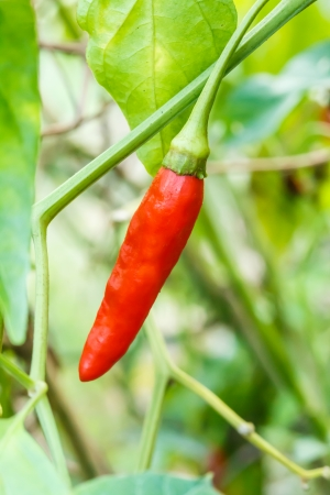 Red hot chili pepper on tree Stock Photo