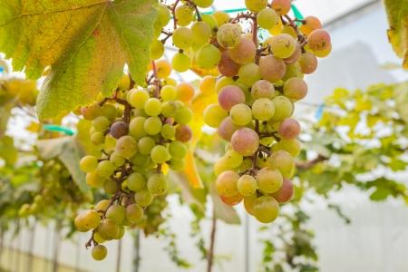 Las uvas en la vi�a