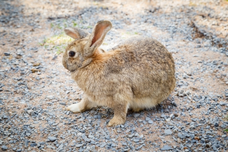 Brown conejo Foto de archivo