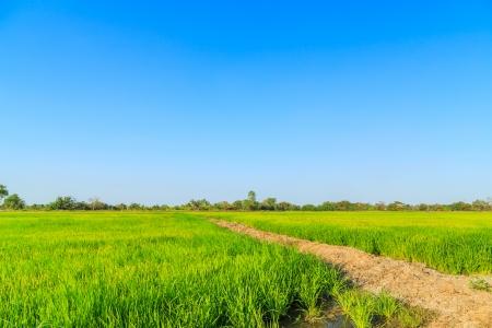 El arroz con c�scara de campo