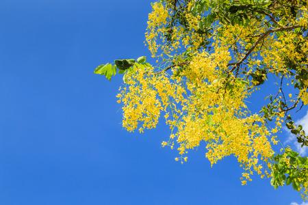 Lluvia dorada con el cielo azul