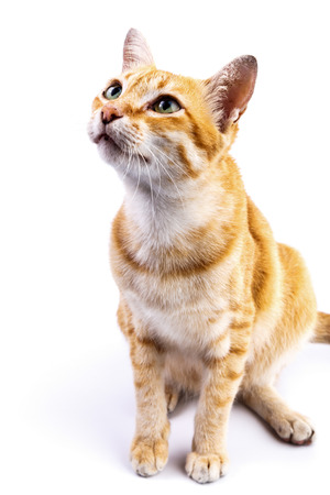 Portrait of red  cat looking up on the isolated background
