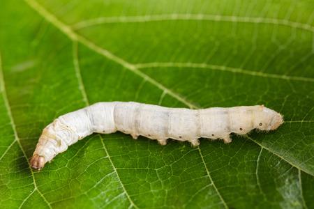 Cierre de gusano de seda