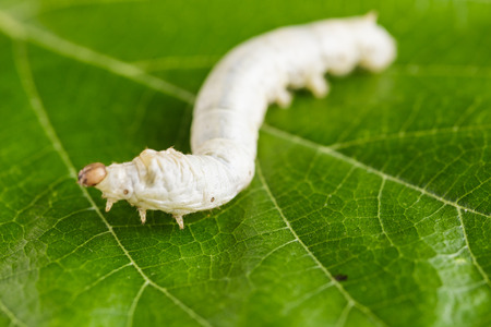 silkworm: Close up Silkworm Stock Photo