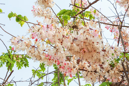 Pink cassia flower bouquet.Cassia javanica