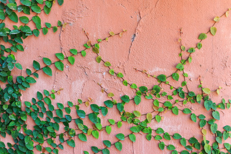 Green ivy on cement wall Stock Photo