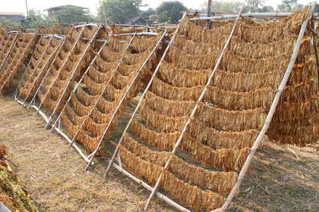 Tobacco Leaves drying on a rack.Thailand