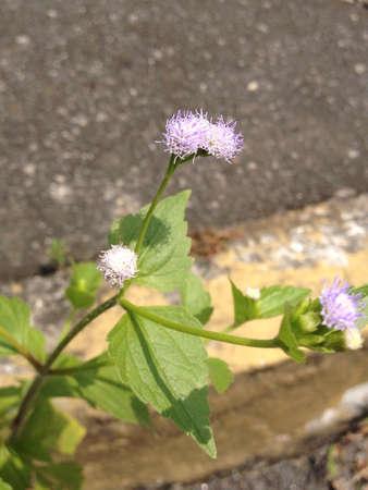 violette fleur: Fleur au bord de la route