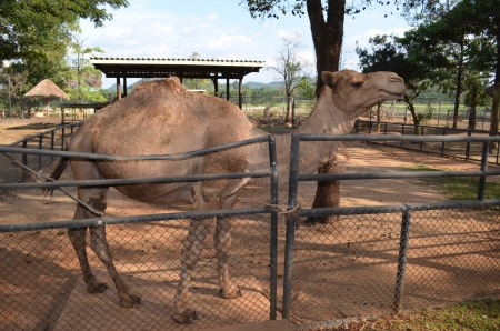 Arabian camel in Thai zoo