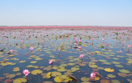 Lake of pink lotus in the northeastern part of Thailand  It s one of the recommend places to visit