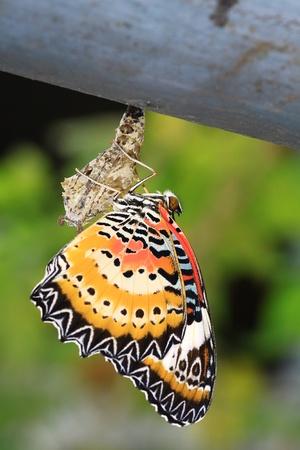 capullo: Mariposas de la crisálida