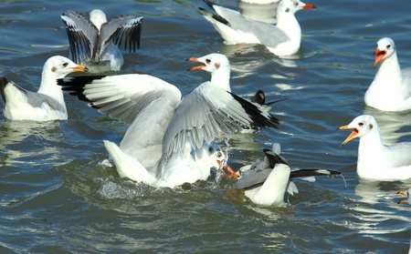 compete: Seagulls compete for food
