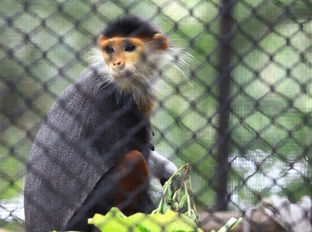 gray langur: Douc Langur Monkey