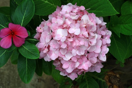 Beautiful Pink Hydrangea Flowers with Green Leaves  photo