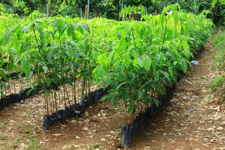 Rubber seedlings planted in rows photo