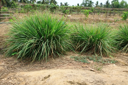Lemon grass plant in mixed garden photo