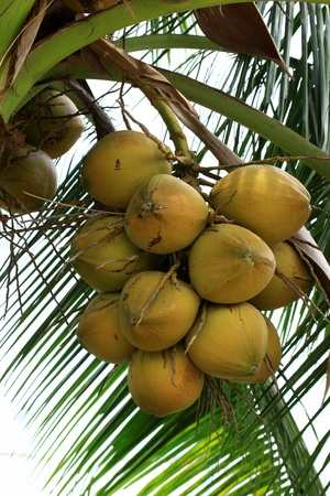 Close up on coconut tree with a bunch of yellow fruits hanging  photo