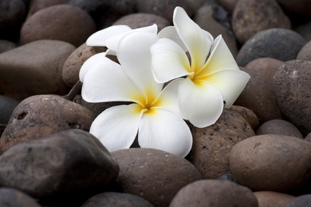 Frangipani flowers on pebble photo