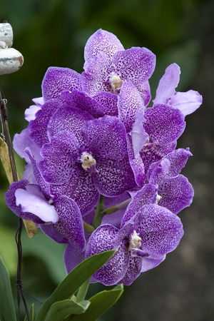 Beautiful  violet Orchid, Vanda hybrids in garden photo