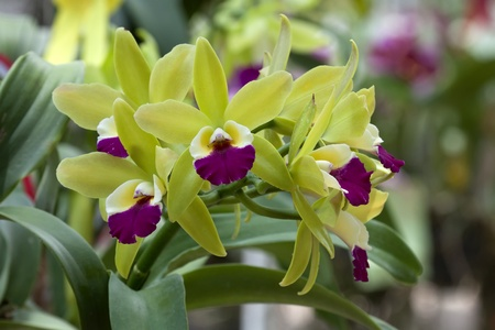 bright cattleya orchid flower color yellow and violet photo