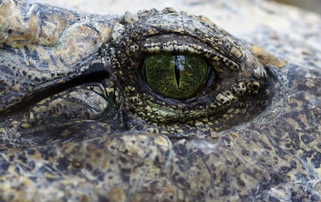 reptillian: a reptillian eye with a strange captivating effect