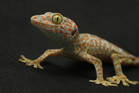 Gecko bend the legs on black background