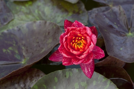 Lotus color orange  lotus leaf on pond photo