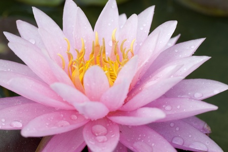 Close up of a pink water lily with water drop