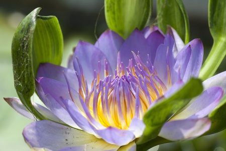 Lotus color purple