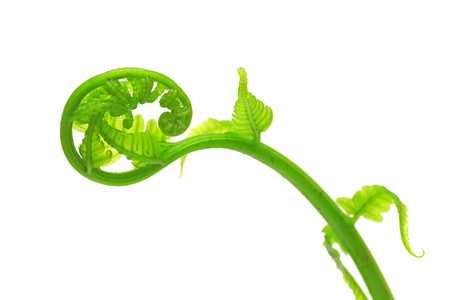 Curly ferns color green on white background Foto de archivo