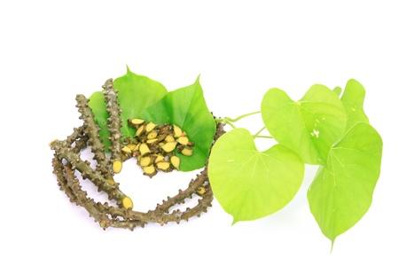 Tinospora crispa  L   Miers ex Hook f    Thoms  Herd of Thailand Stockfoto