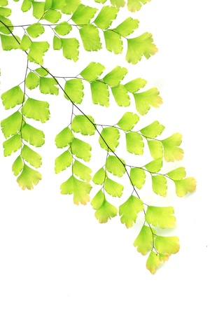 Fern color green on white background  Adiantum capillus-veneris L   photo