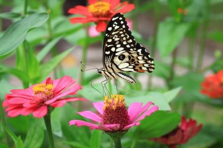 dorsal: Butterfly on pink Zinnia