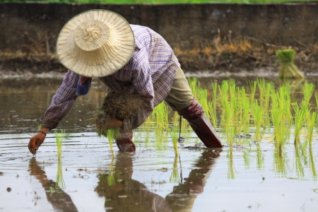 Farmers are planting rice in the farm
