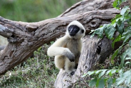 White Cheeked Gibbon or Lar Gibbon  baby photo