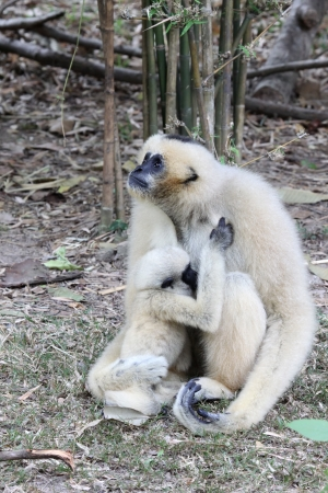 White Cheeked Gibbon or Lar Gibbon with baby photo