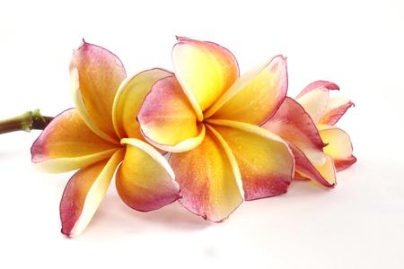 tahiti: Frangipani flower beautiful on white background Stock Photo