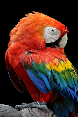 Red Macaw perched on a tree with black background photo